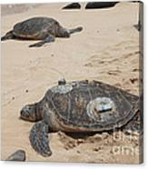 Green Sea Turtles With Gps Canvas Print