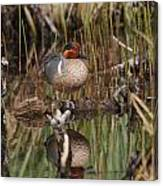 Greenwing Teal Canvas Print