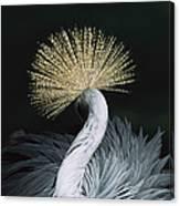 Grey Crowned Crane Balearica Regulorum Canvas Print