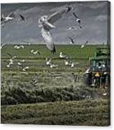 Gull Chased Tractor Canvas Print