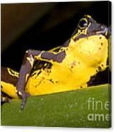 Harlequin Frog Canvas Print