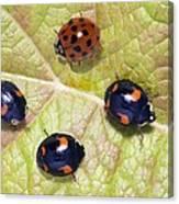 Harlequin Ladybirds Canvas Print