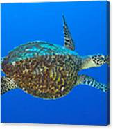 Hawksbill Sea Turtle, Kimbe Bay, Papua Canvas Print