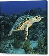 Hawksbill Turtle On Caribbean Reef Canvas Print