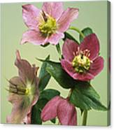 Hellebore Flowers Canvas Print