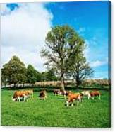 Hereford Bullocks Canvas Print