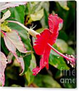 Hibiscus In Bloom Canvas Print