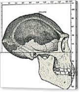 Homo Erectus Skull Canvas Print