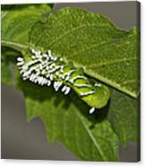 Hornworm With Braconid Wasp Parasites 2 Canvas Print
