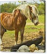 Horse Near Strone Wall In Field Spring Maine Canvas Print