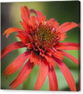 Hot Papaya Coneflower Squared Canvas Print