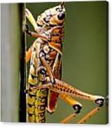 Hubber Grasshopper Canvas Print