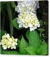 Hydrangea Blooming Canvas Print