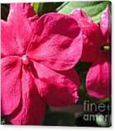 Impatiens Named Dazzler Burgundy Canvas Print