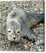 Injured Harbor Seal Canvas Print