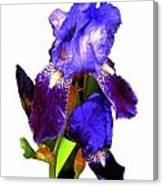 Iris On White Canvas Print