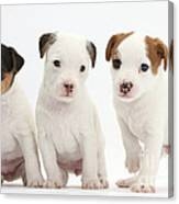 Jack Russell Puppies Canvas Print