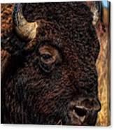 Kansas Buffalo Canvas Print