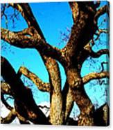 Knarled Oak Tree Canvas Print