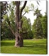 Knurled Tree Canvas Print