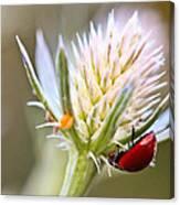 Ladybug On Thistle Canvas Print
