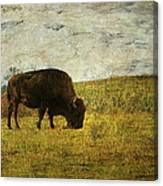 Last Buffalo   Canvas Print