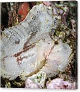 Leaf Scorpionfish, Indonesia Canvas Print