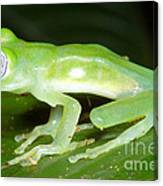 Limon Giant Glass Frog Canvas Print