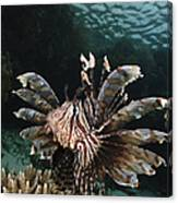 Lionfish, Indonesia Canvas Print