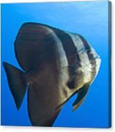 Longfin Spadefish, Papua New Guinea Canvas Print