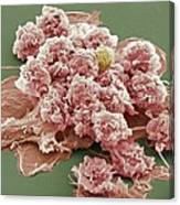 Macrophages, Sem Canvas Print