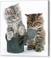Maine Coon Kitttens Canvas Print