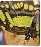 Malachite Butterfly Canvas Print