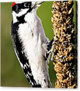 Male Downy Woodpecker  Canvas Print