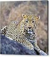 Male Leopard Canvas Print