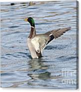 Mallard Duck Showing Off Canvas Print