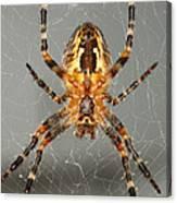 Marbled Orb Weaver Spider Canvas Print