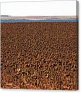 March Of The Sunflowers Canvas Print