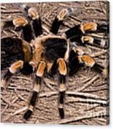 Mexican Red-legged Tarantula Canvas Print