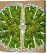 Microsterias Green Alga, Light Micrograph Canvas Print