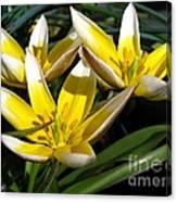 Mini Botanical Tulip Named Dasystemon Tarda Canvas Print