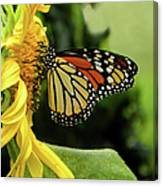 Monarch And The Sunflower Canvas Print