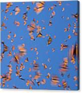Monarch Danaus Plexippus Butterflies Canvas Print