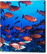 Moontail Bullseye Fish Canvas Print