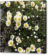 Mountain Avens (dryas Octopetala) Canvas Print