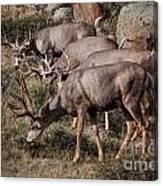 Mule Deer Bucks Canvas Print
