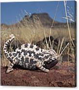 Namaqua Chameleon Chamaeleo Namaquensis Canvas Print