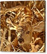 Newly Born Fawn Hiding In A Saskatchewan Field Canvas Print