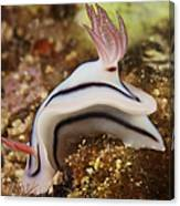 Nudibranch Feeding On The Reef, Fiji Canvas Print