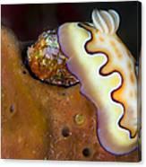 Nudibranch On Orange Sponge, Kimbe Bay Canvas Print
